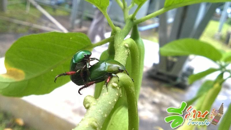 แมงจินูนเขียว